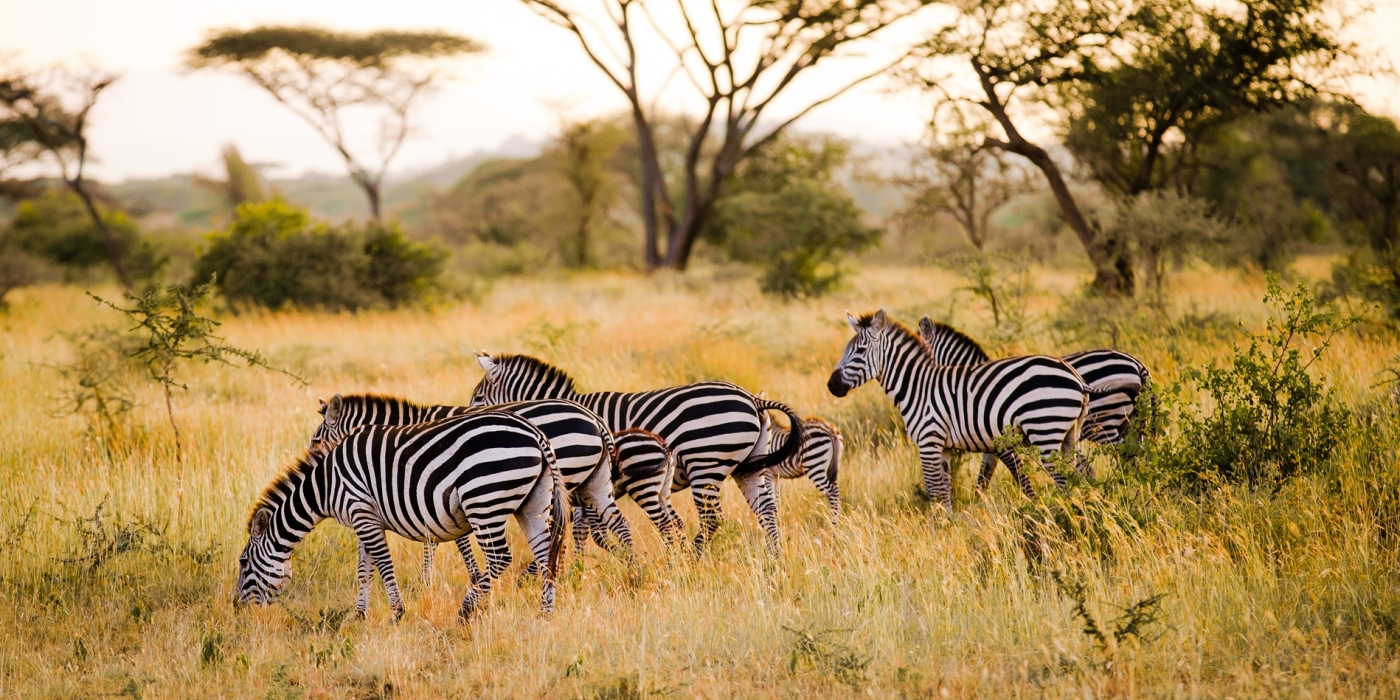 Zebra and Acacia trees