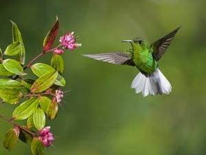 Emerald Hummingbird in Costa Rica