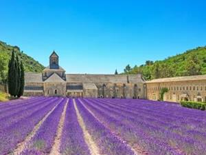 rows of of purple lavender in front of the abbey of senanqu gordes in provence, france